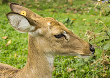 The deers head Royalty Free Stock Photos