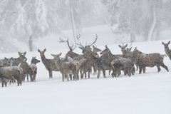 Deers during the heavy snowing in the winter snow Stock Photography