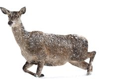 Deers during the heavy snowing in the winter snow Royalty Free Stock Image