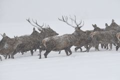 Deers during the heavy snowing in the winter snow Royalty Free Stock Photo