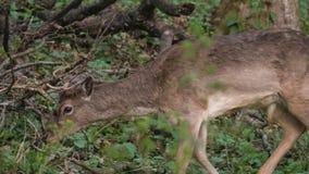Deers in het bos stock videobeelden