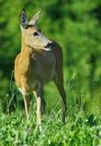Deers in het groene gebiedswild Stock Fotografie