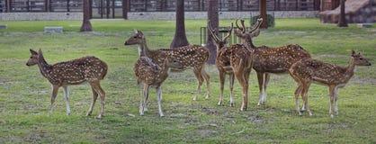 Deers in het park Royalty-vrije Stock Afbeelding