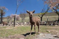 Deers in het park van Nara Royalty-vrije Stock Afbeeldingen