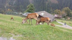 Deers in hun het natuurlijke plaatsen Stock Foto's