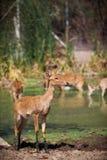 Deers i dammet Arkivbild