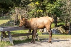 Deers i den Parc omegan Kanada arkivfoton