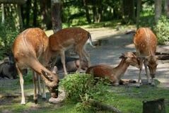 Deers i en grupp i skogen Arkivbilder