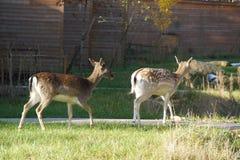 Deers i familjen parkerar, nära Poitiers i Frankrike Royaltyfria Bilder