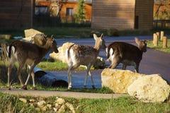 Deers i familjen parkerar, nära Poitiers i Frankrike - tillbaka sikt Arkivbilder