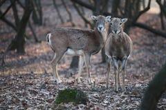 Deers i skogen Arkivfoton