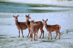 Deers on ice river5. Deers on the ice river in winter Stock Images