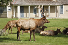 Deers im Park Yellowstone Lizenzfreies Stockbild