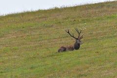 Deers jeleń w bekowisko sezonie na łące obrazy stock