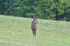 Deers jeleń w bekowisko sezonie na łące obraz stock
