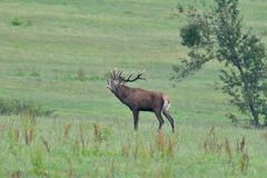 Deers jeleń w bekowisko sezonie na łące zdjęcie stock
