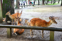 Deers at Kofukuji Temple in Nara, Japan Royalty Free Stock Photos