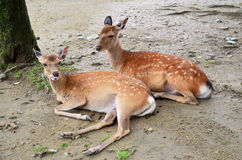 Deers at Kofukuji Temple in Nara, Japan Royalty Free Stock Image