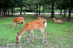 Deers at Kofukuji Temple in Nara, Japan Royalty Free Stock Photography