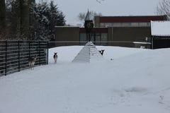 Deers at a local community farm in Nieuwerkerk aan den IJssel with snow in winter.  Stock Photo