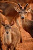 Deers Stock Photography