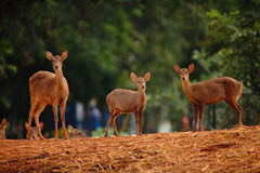 Deers. Look at the camera Stock Photo