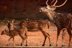 Deers Stock Images