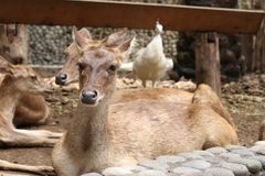 Deers in Bali Zoo, Indonesia. Deers lying on the ground in a Bali Zoo, Indonesia. Close up stock photography