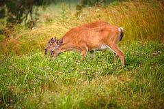 Deers in the Meadow Royalty Free Stock Photo