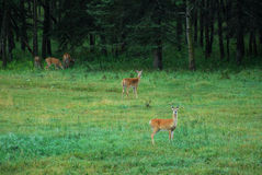 Deers on meadow Stock Images