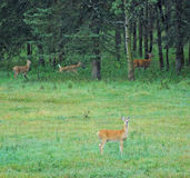 Deers on meadow Royalty Free Stock Photos
