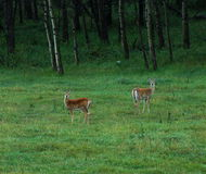 Deers on meadow. Deers wandering on meadow at sheep river valley provincial park, alberta, canada Stock Photo