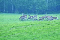 Deers on the meadow. Grazing grass Stock Image