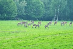 Deers on the meadow. Grazing grass Stock Photography