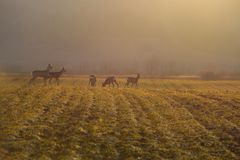 Deers on meadow in the morning. Stock Photography