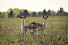 Deers on the meadow Royalty Free Stock Photo