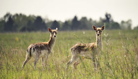 Deers on the meadow Royalty Free Stock Images