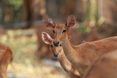 Deers med suddighetsbakgrund Royaltyfria Foton
