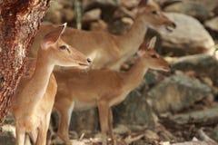 Deers med suddighetsbakgrund Arkivbild
