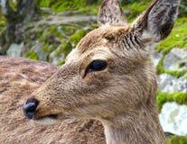 The deers of Miyajima island Royalty Free Stock Photos