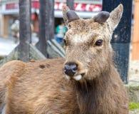 The deers of Miyajima island Royalty Free Stock Images
