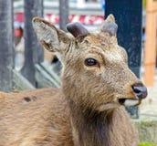 The deers of Miyajima island Royalty Free Stock Photography