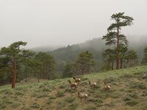 Deers in Mountains. Deers in Colorado Rocky Mountains Royalty Free Stock Image