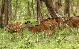 Deers. In mudumalai forest tamilnadu Royalty Free Stock Photo