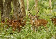Deers. In mudumalai forest tamilnadu Stock Photos
