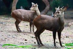 deers muntjac穿过s 免版税库存图片