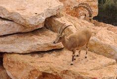 Deers na skałach Fotografia Royalty Free