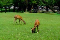 Deers from Nara. Deers eating at Nara park, Japan Royalty Free Stock Image