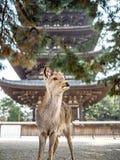 The Deers of Nara Stock Image