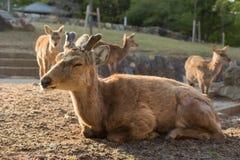 Deers in Nara park Royalty Free Stock Image
